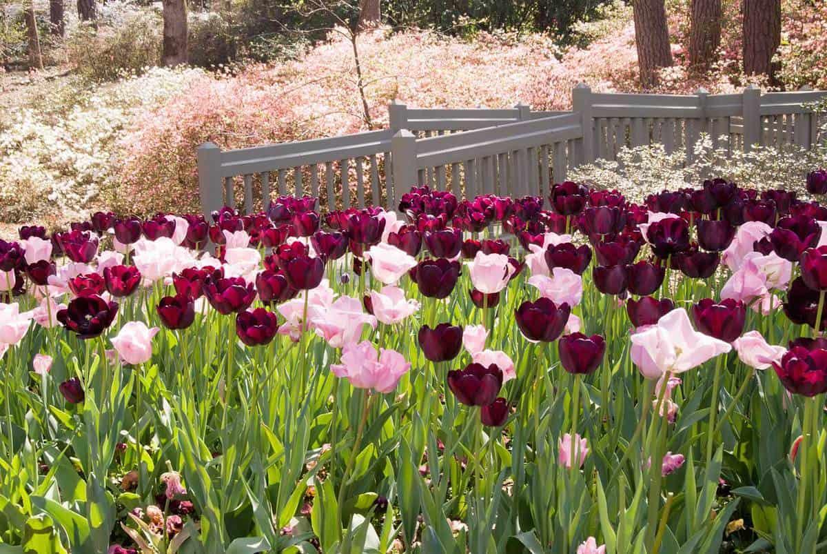 Springtime Garden filled with tulips and azaleas