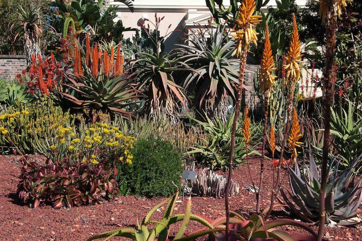 Succulent garden in bloom