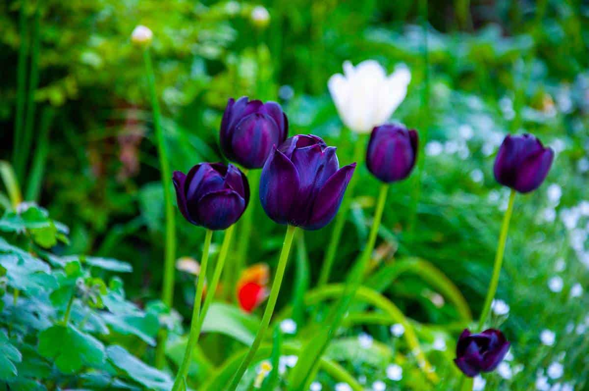 The purple tulip in the garden during the sunny day