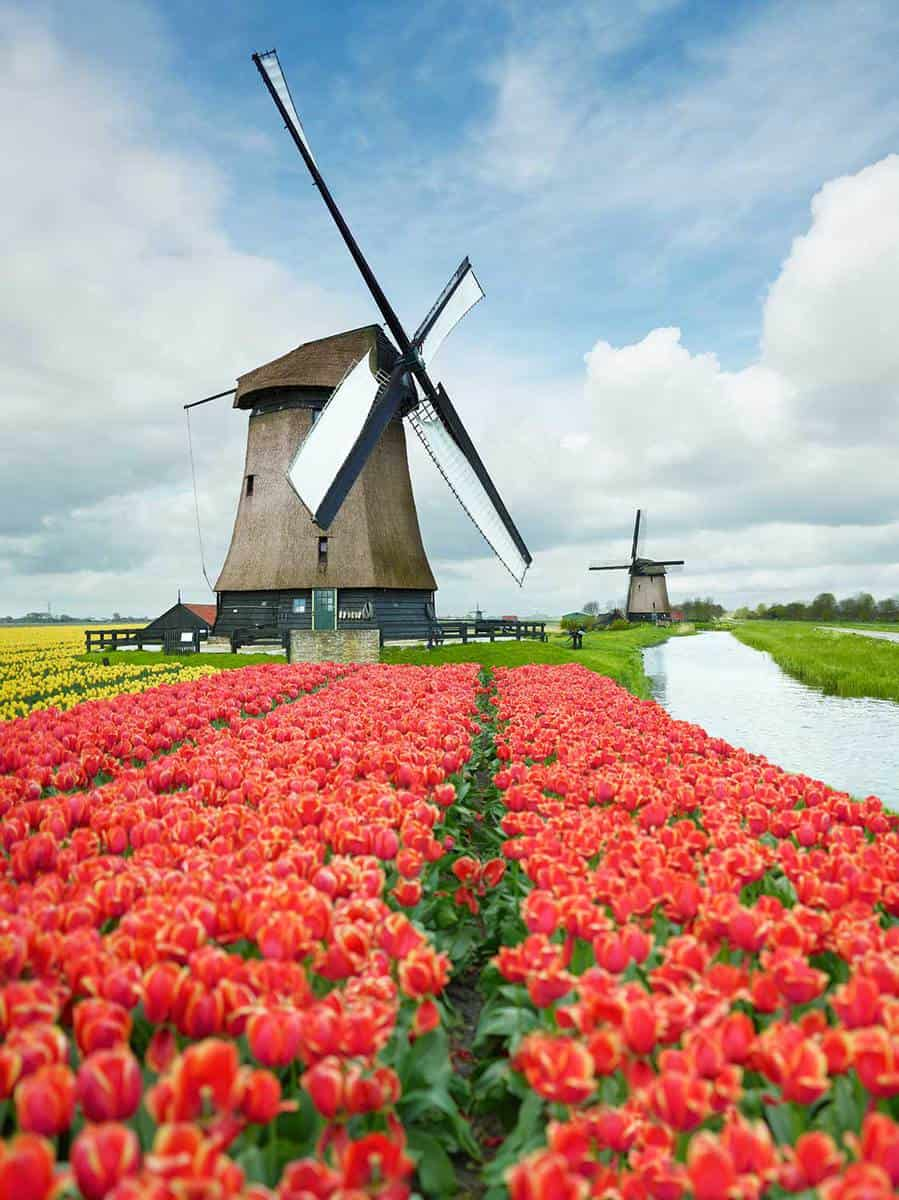 Tulip field and a windmill