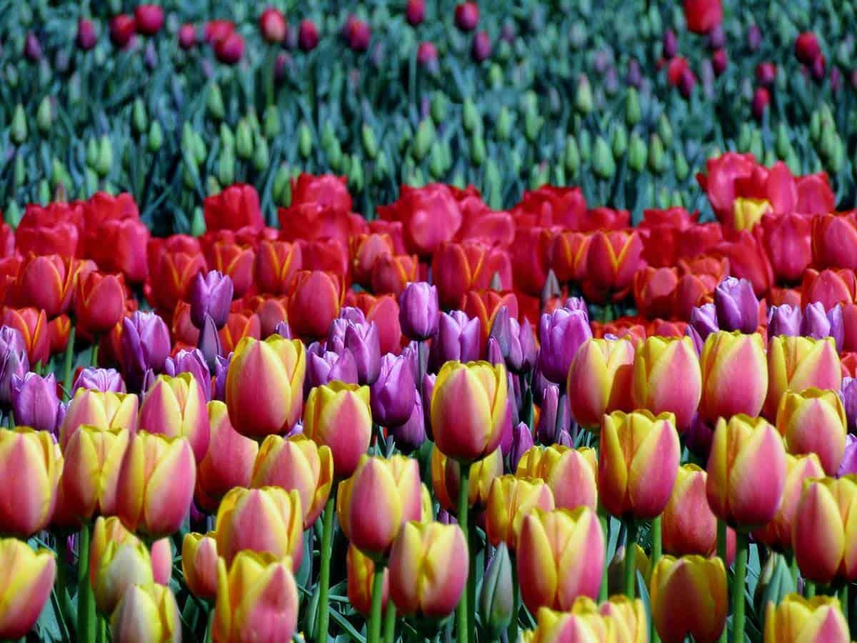 Tulip field at a festival