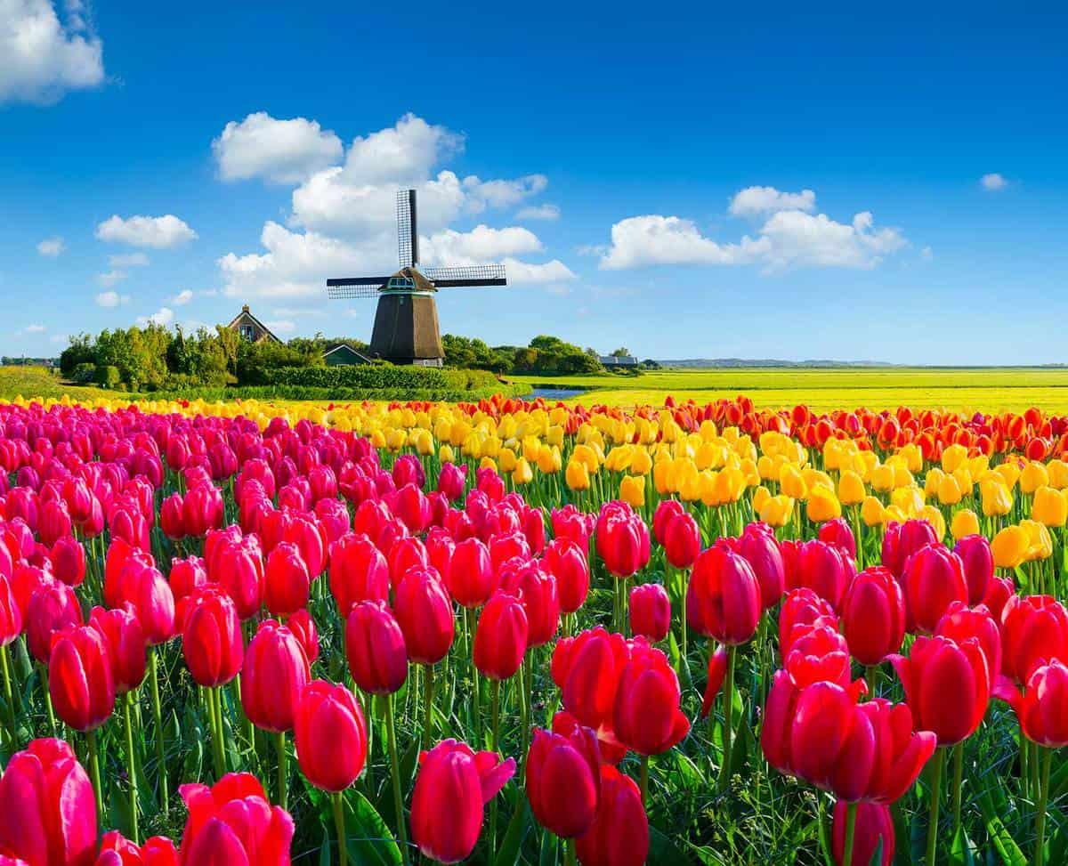 Tulip field in dutch spring scene