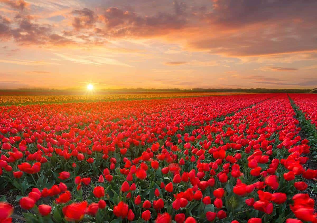Tulip field in the netherlands