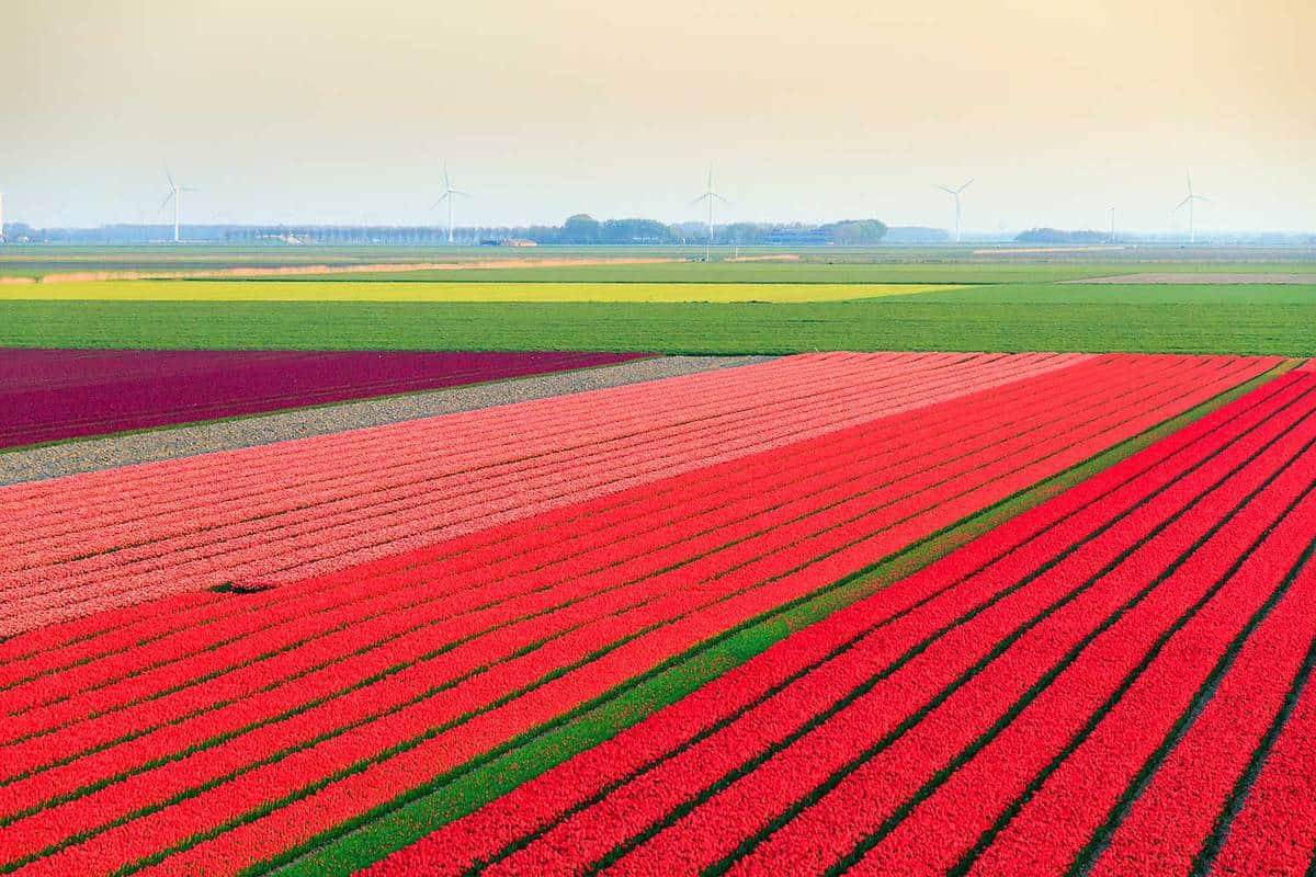 Tulip field overview