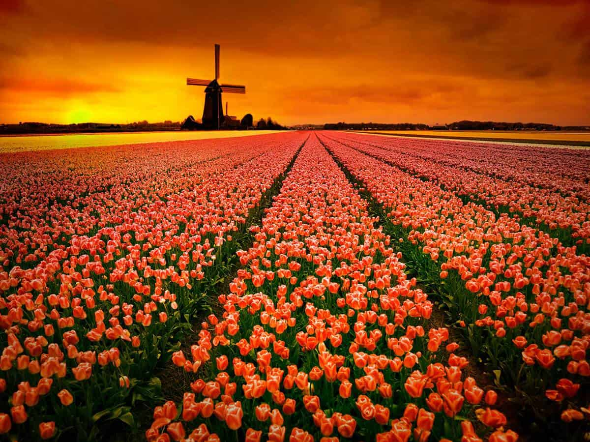 Tulip fields and windmill at sunset