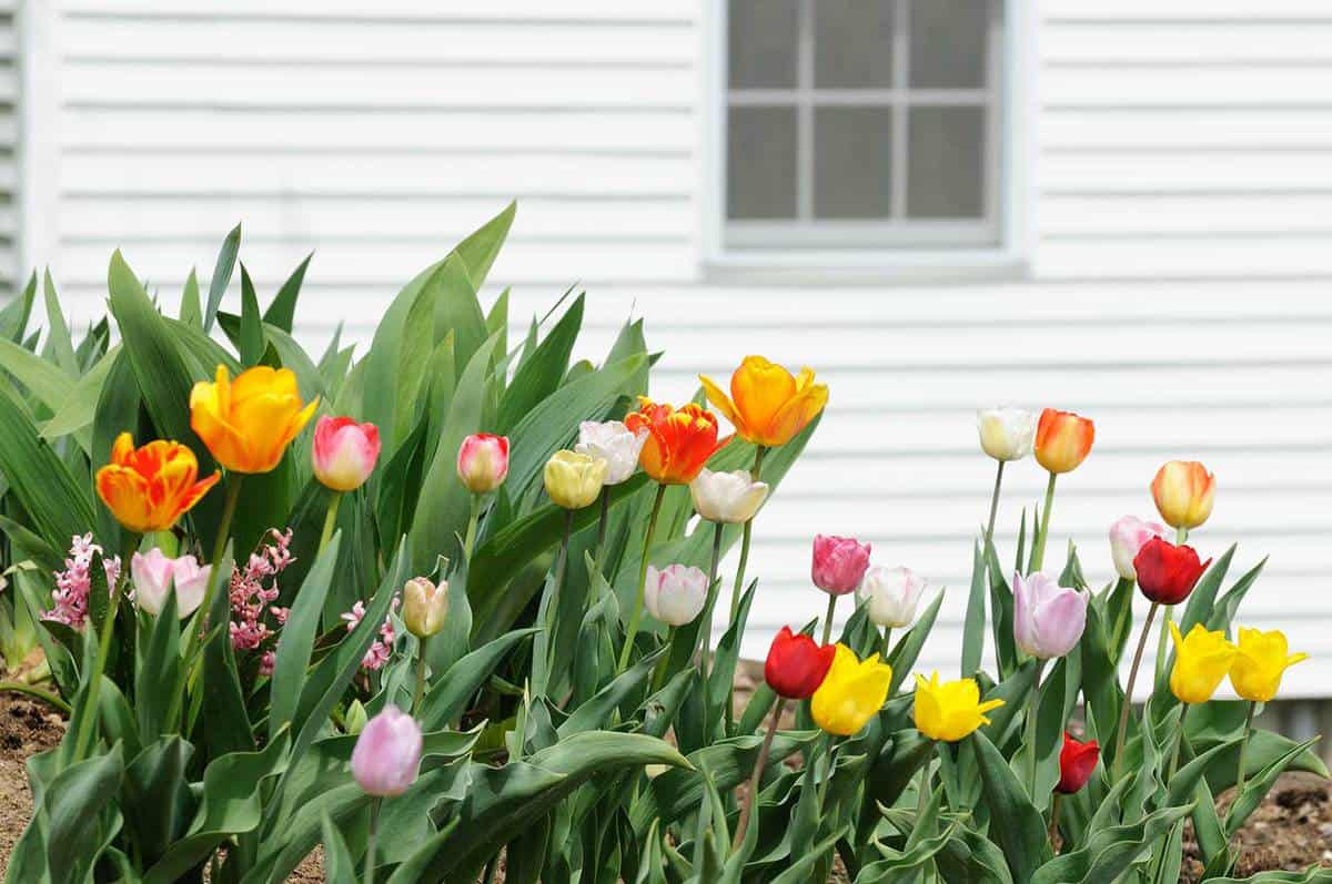 Tulips by the house