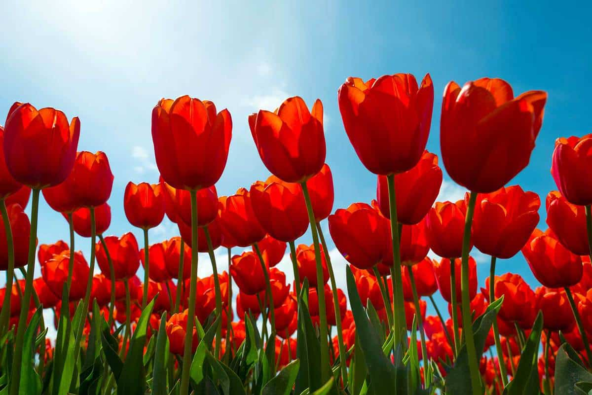 Tulips on a sunny field in spring