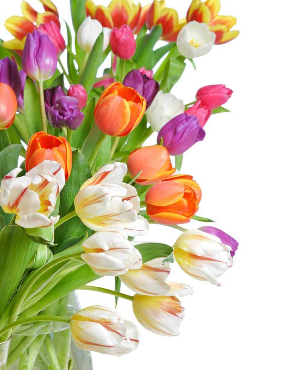 Tulips-on-a-white-background