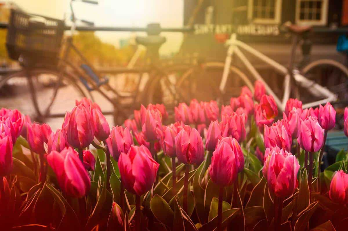 Tullips and bicycles on street