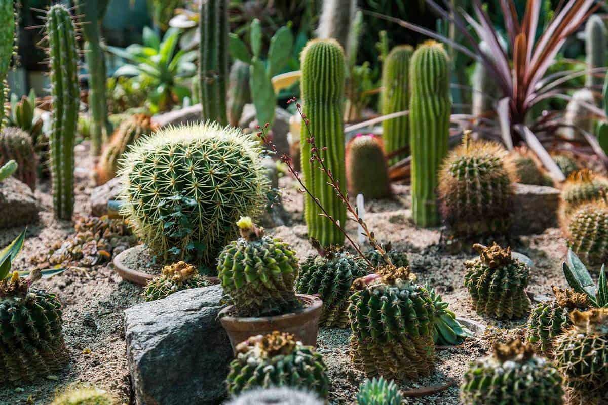 Type of cactus plants