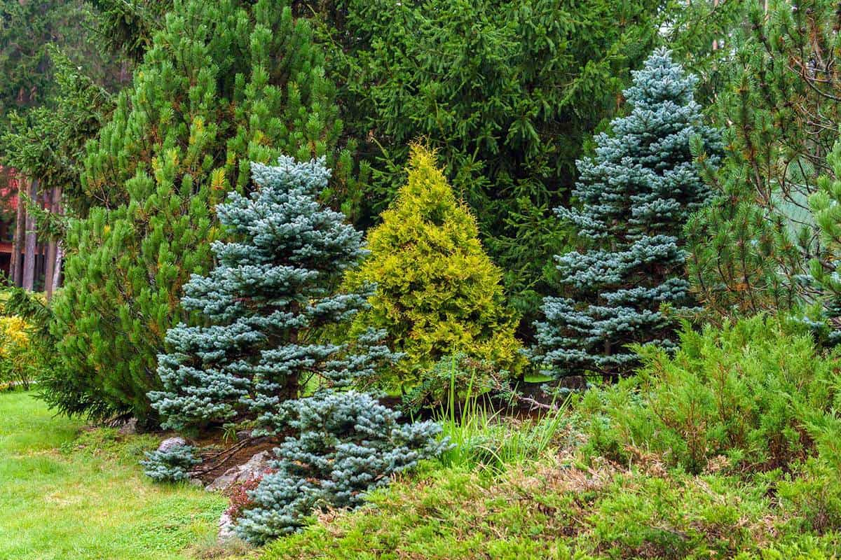 Various conifers as an element of landscape design