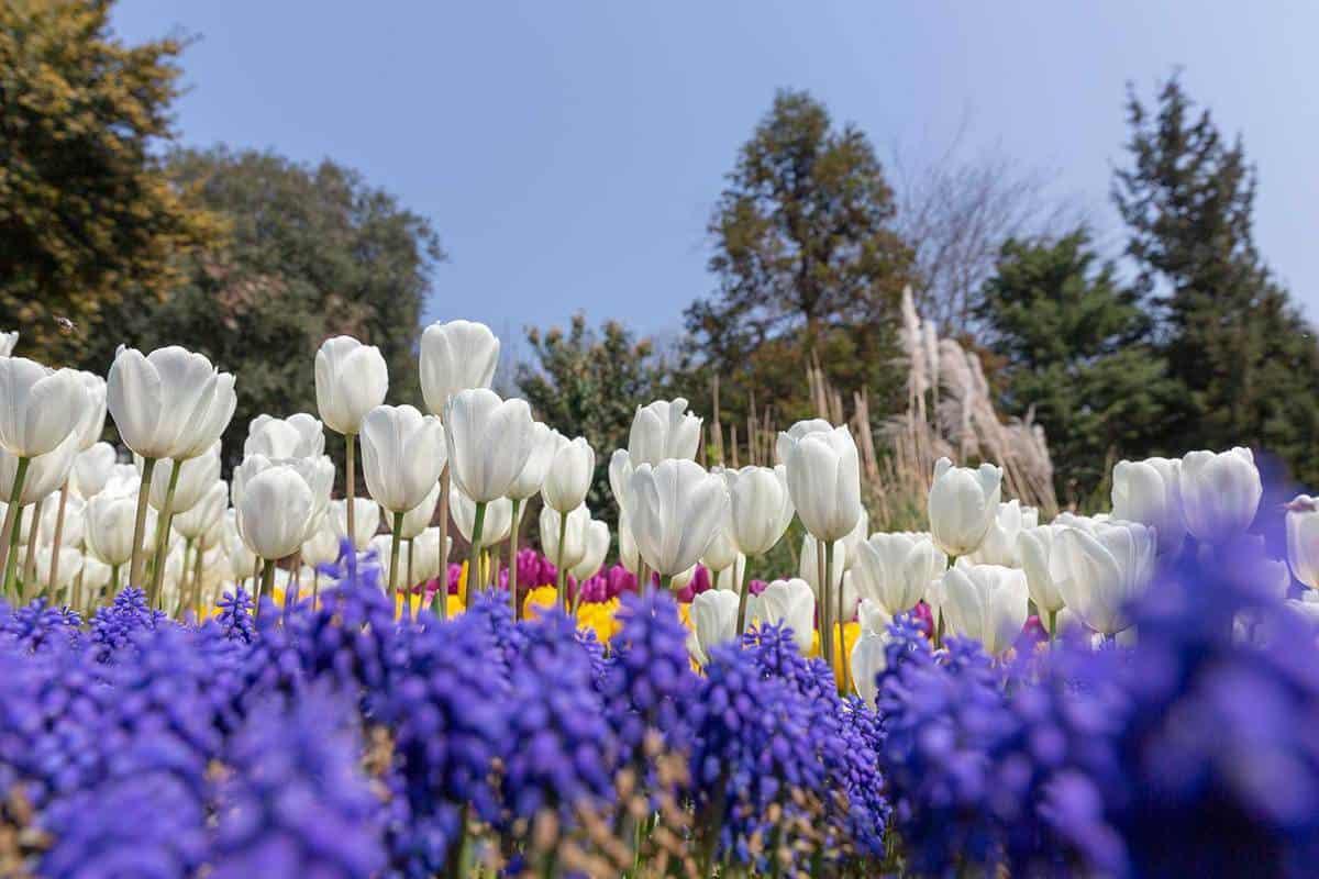 White tulips in the garden