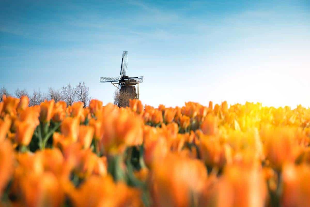 Windmill in tulip field