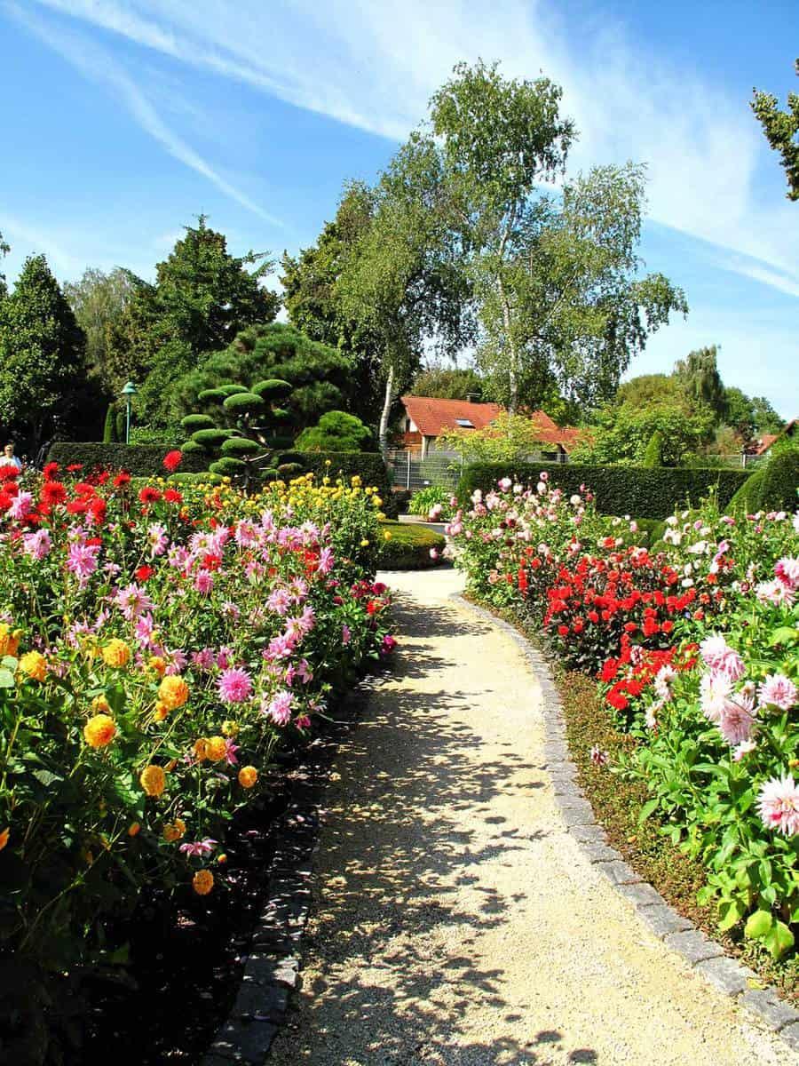 Wonderful garden with dahlias