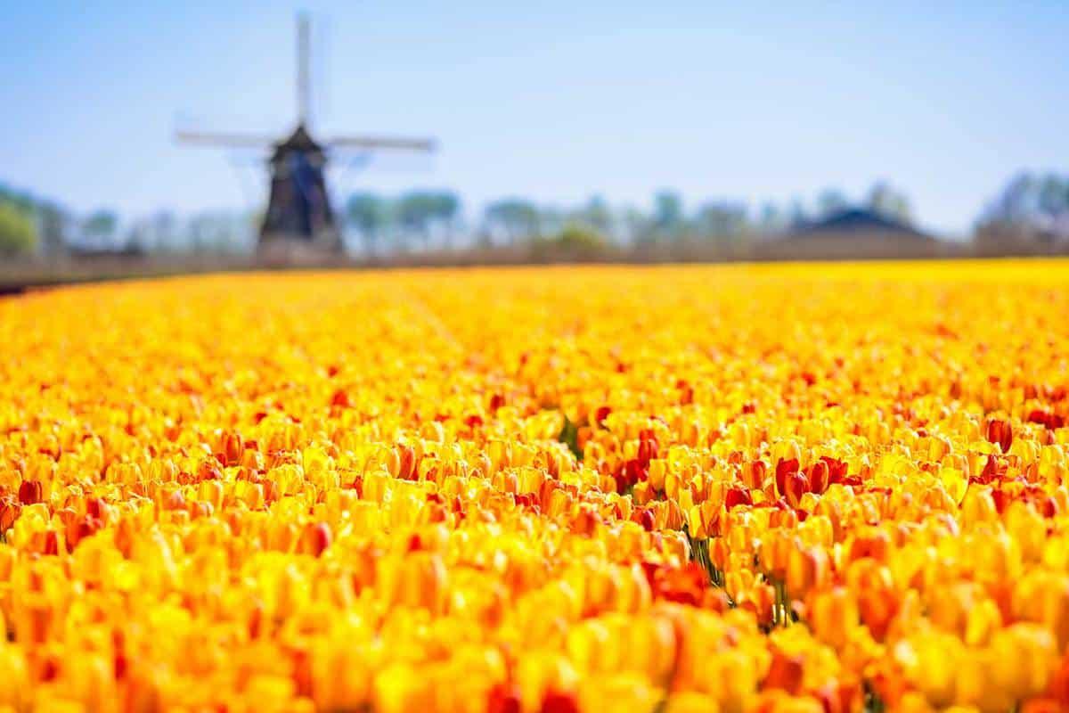 Yellow tulip fields and windmill