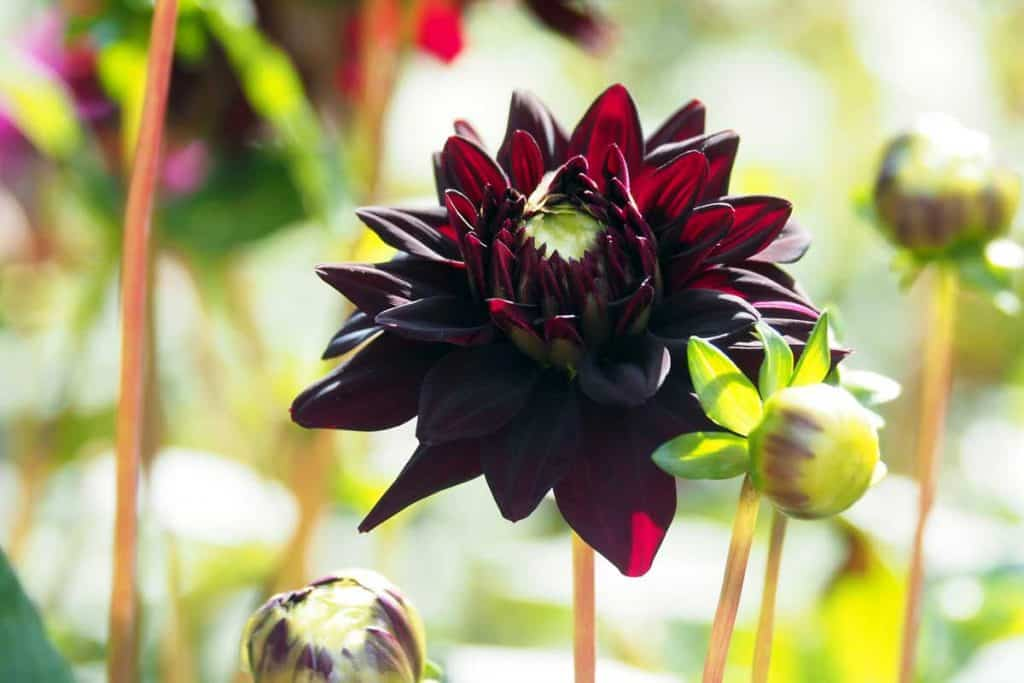 black dark red decorative double blooming lily-Dahlia