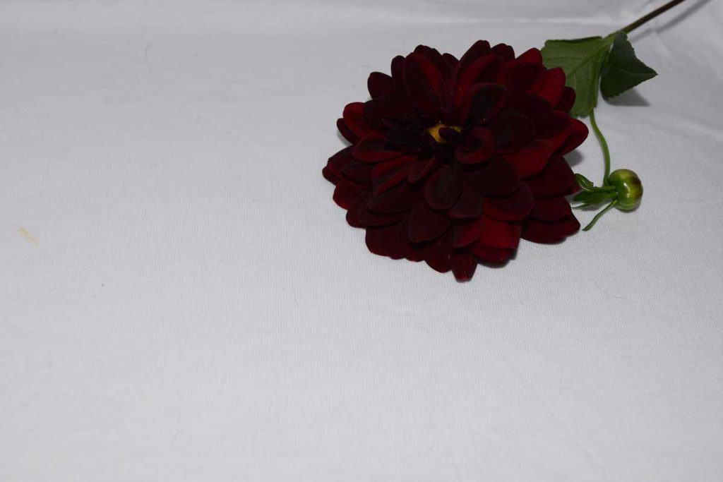 Black Dahlia Flower Bloom real color