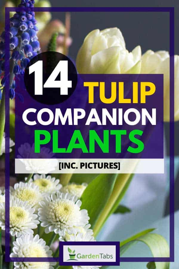 14 Tulip Companion Plants [Inc. Pictures]