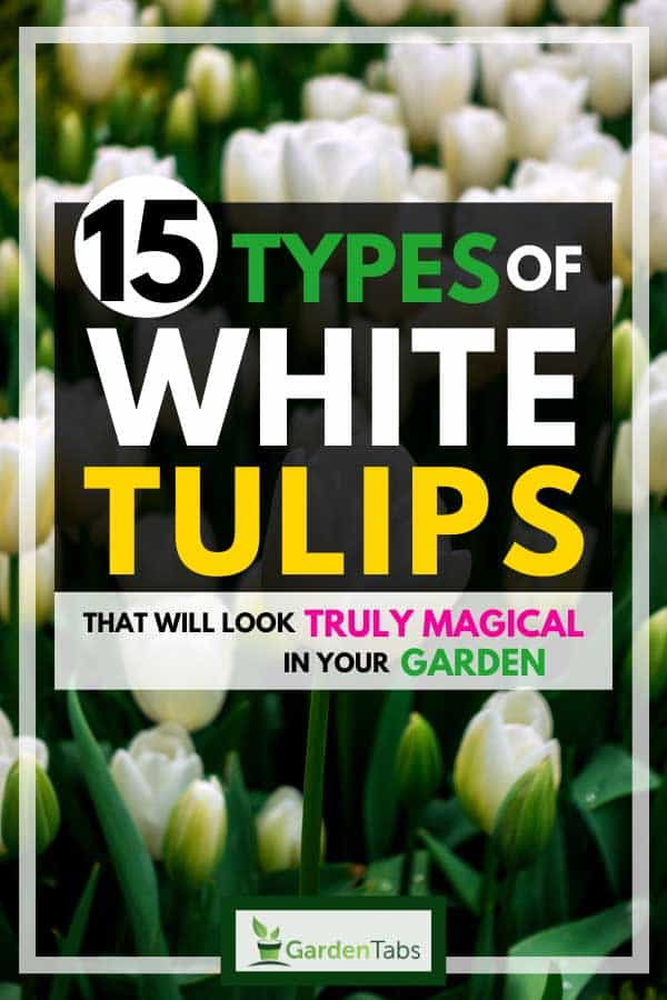 15 Types of White Tulips That Will Look Truly Magical in Your Garden