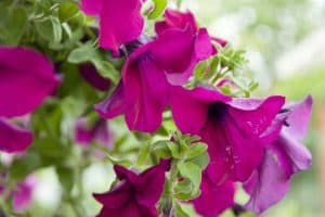 Bubblegum Petunia: Care Tips, Shopping Links & Pictures