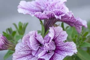 Tumbelina Petunias [Care tips, Guides and Pictures]