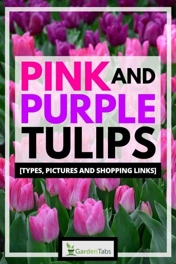 Pink and Purple Tulips [Types, Pictures and Shopping Links]