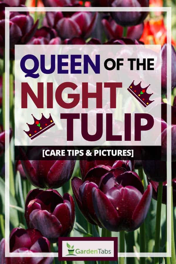 Queen of the Night Tulip [Care Tips & Pictures]