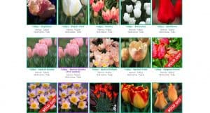 Brent and Becky's Bulb website product page for tulip bulbs
