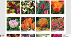 Tulips.com website product page for tulip bulbs