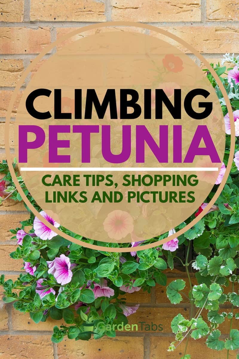 Climbing Petunia: Care Tips, Shopping Links and Pictures