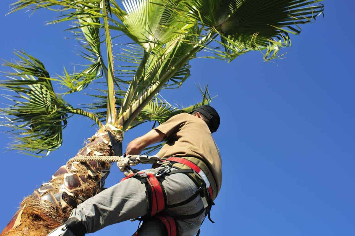 A-tree-surgeon-wearing-a-harness-uses-a-corvellot-to-prune-a-palm-tree, When-to-Trim-Palm-Trees