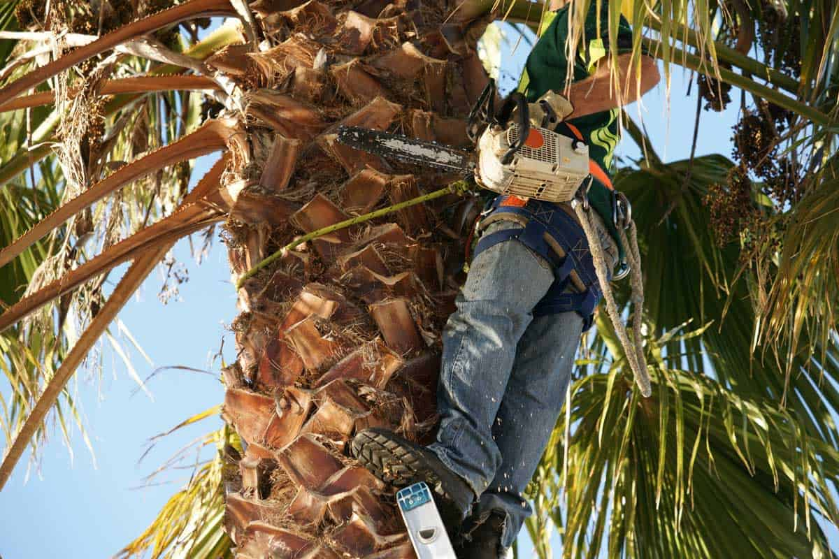 Arborist-and-chainsaw-atop-ladder-pruning-dead-fronds-on-palm-tree.
