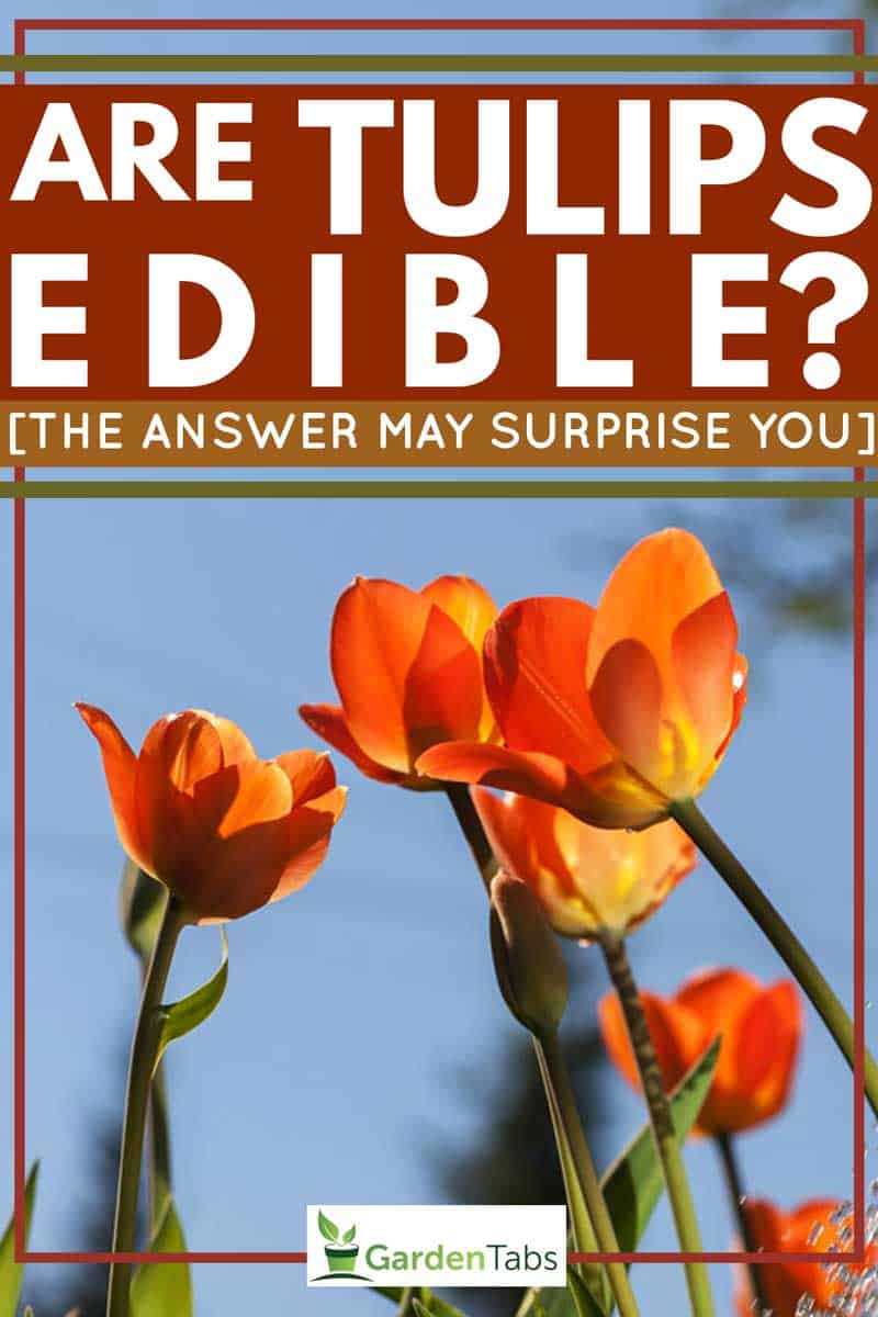 Are Tulips Edible The Answer May Surprise You Garden Tabs