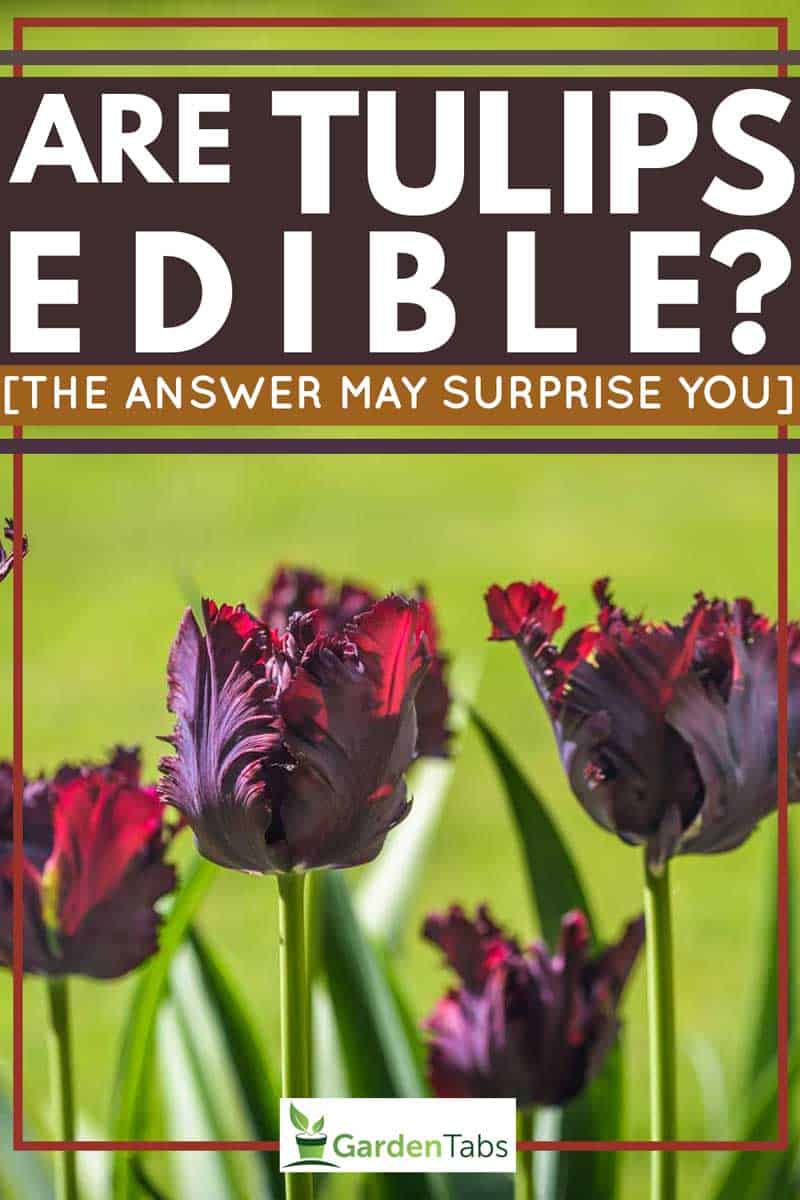 Are-Tulips-Edible-[The-answer-may-surprise-you]