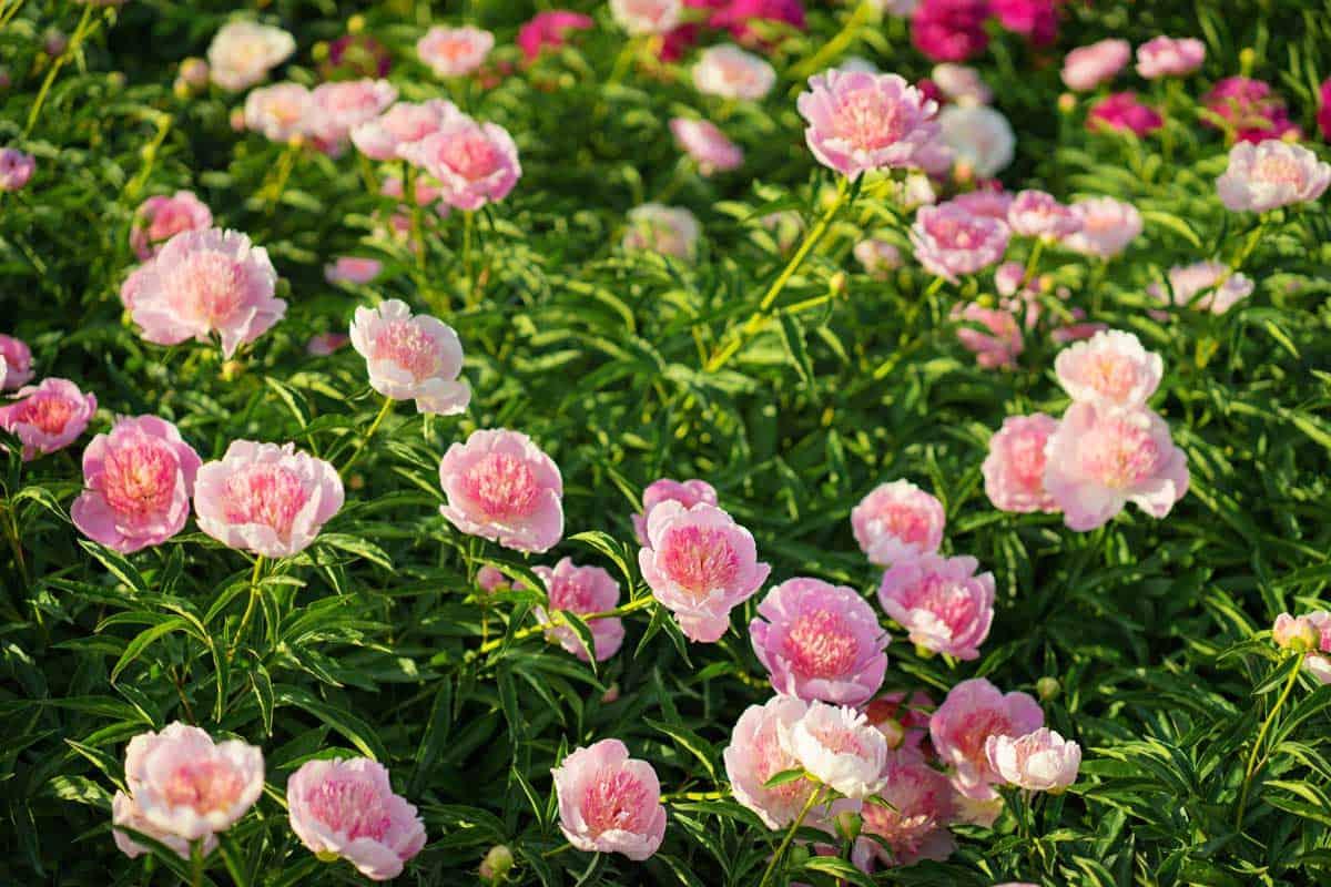 Beautiful-blooming-pionies-flowers-in-botanic-garden.