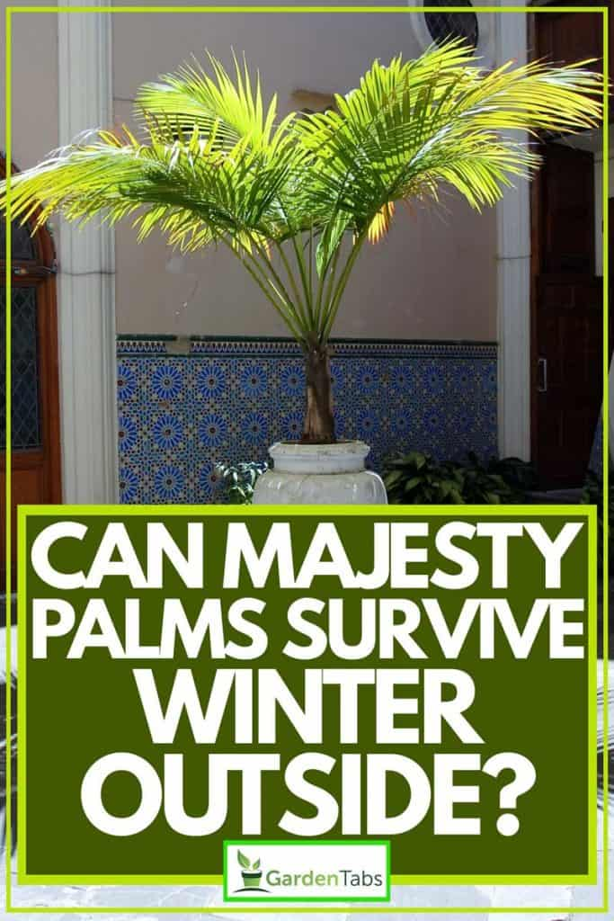 Majesty palm on white pot, Can Majesty Palms Survive Winter Outside?