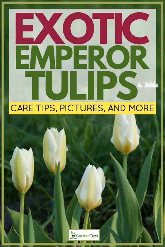 Exotic Emperor Tulip Plant Guide [Care tips, pictures and more]