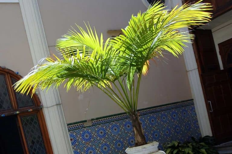 Can Majesty Palms Survive Winter Outside?