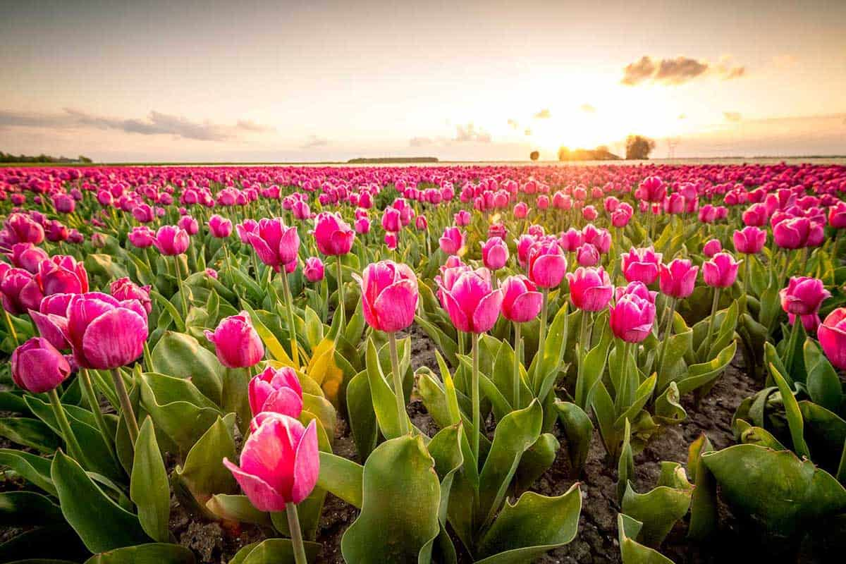 Fields-of-blooming-red-tulips-during-sunset