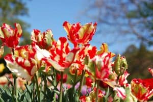 Read more about the article Parrot Tulips Garden Guide [Care Tips, Shopping Links and Pictures]