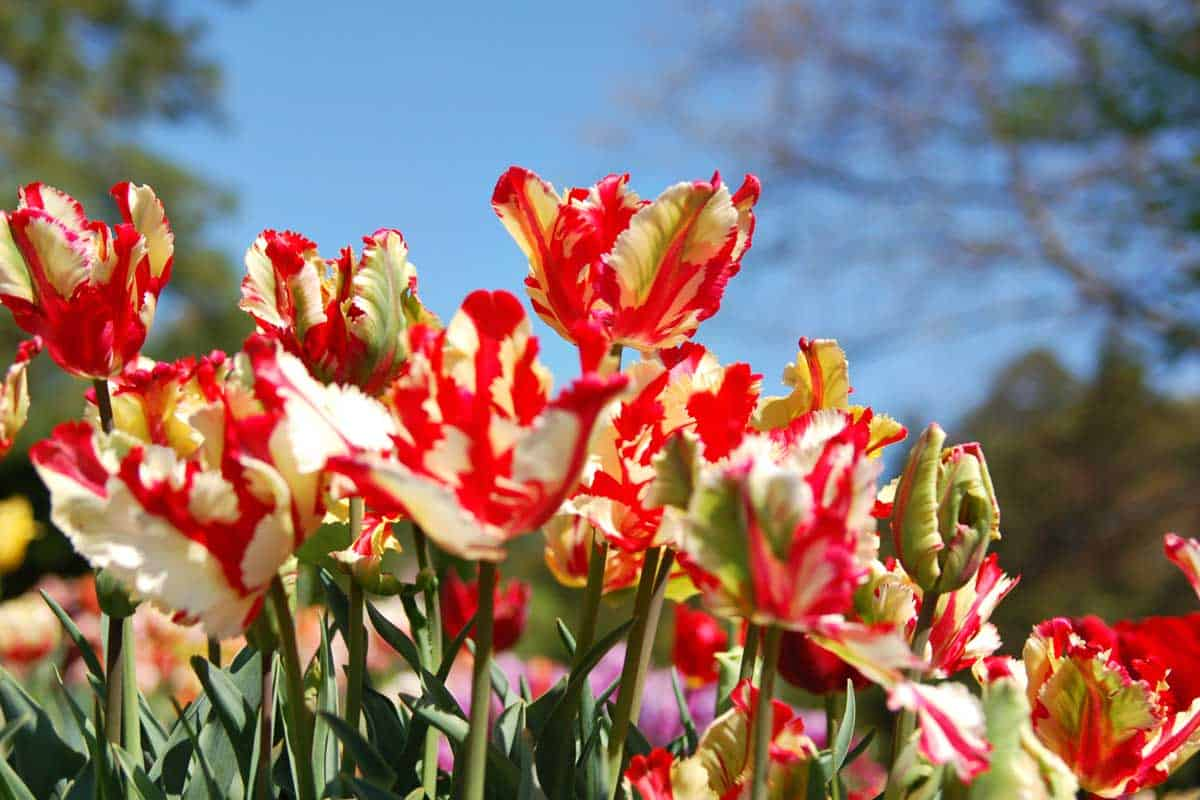 Parrot Tulips Garden Recordsdata [Care Tips, Shopping Links and Pictures]