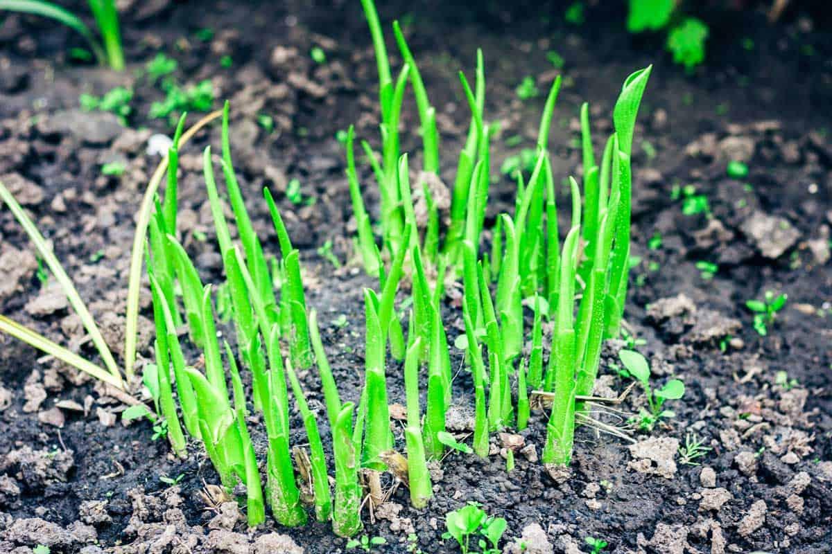 Green-bush-of-flower-peonies-growing-in-the-garden