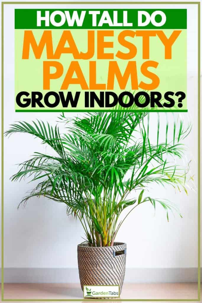 How Tall Do Majesty Palms Grow Indoors