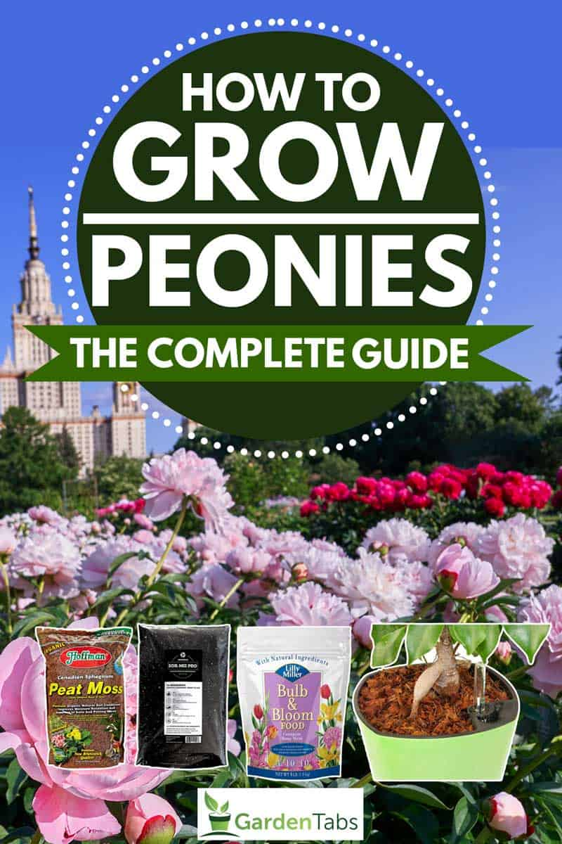 How-to-Grow-Peonies-The-Complete-Guide