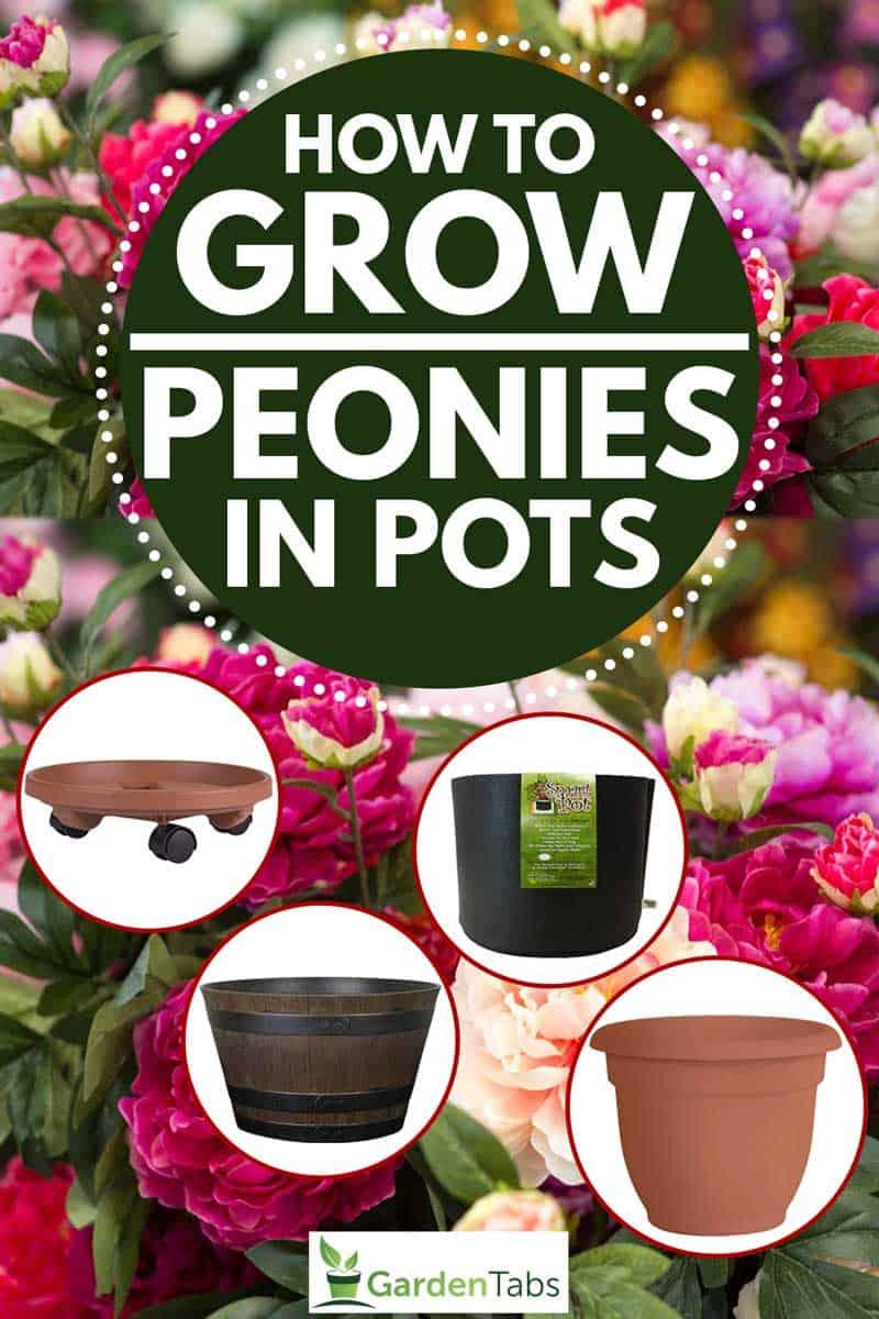 How to Grow Peonies in Pots