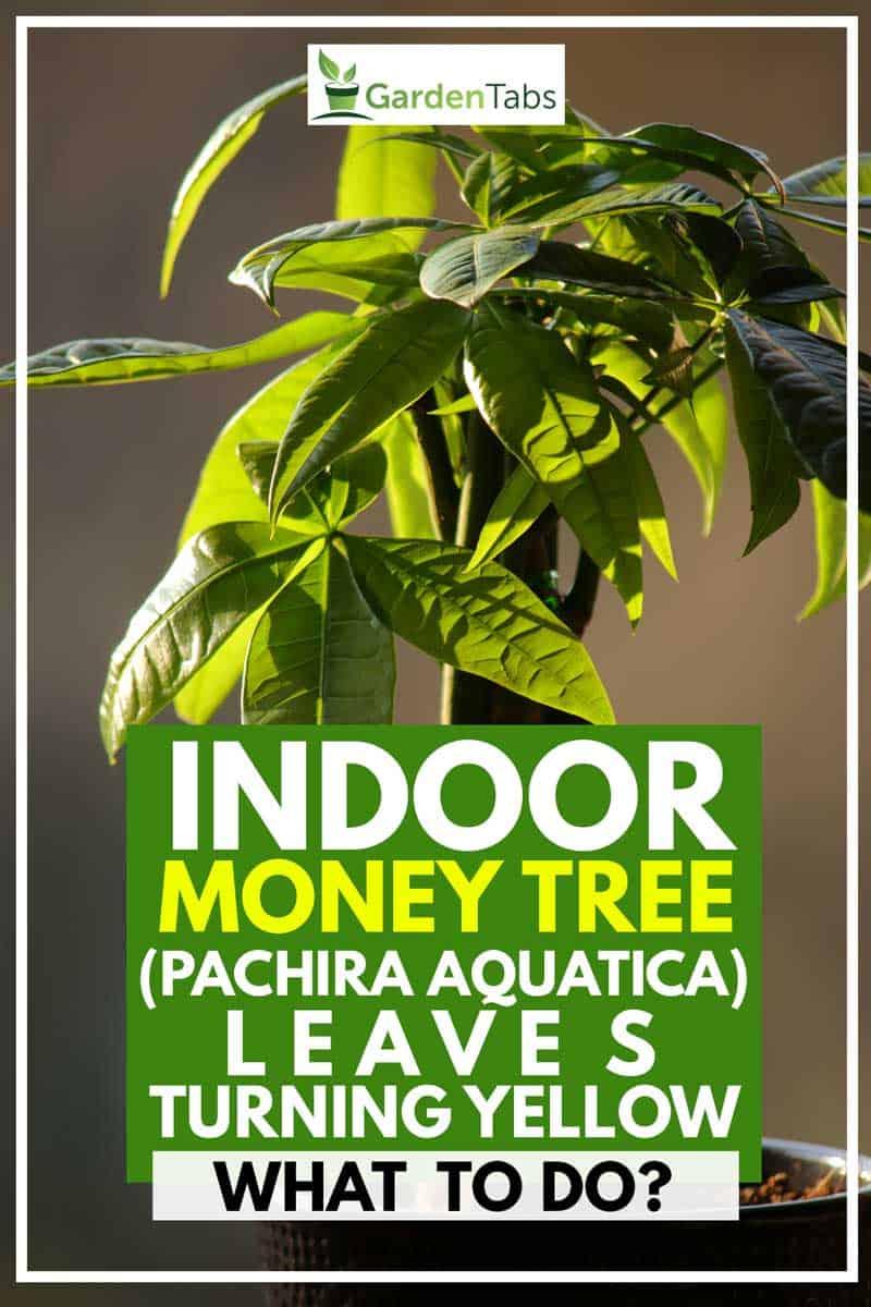 Indoor Money Tree (Pachira Aquatica) Leaves Turning Yellow - What to Do?