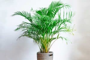 Read more about the article How Tall Do Majesty Palms Grow Indoors?