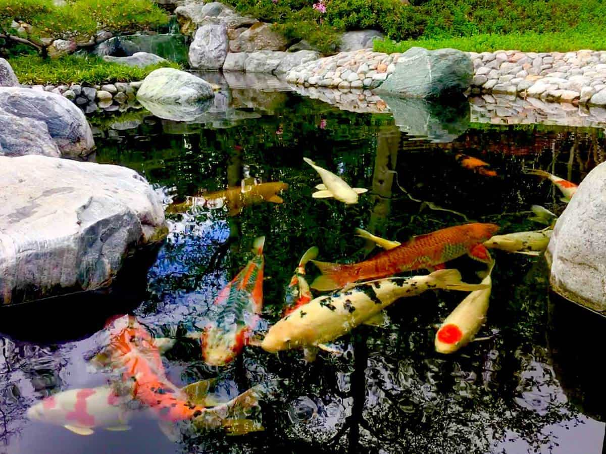 Japanese garden with koi fish in the pond