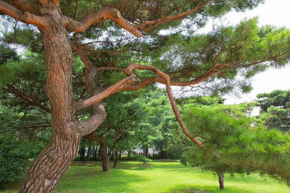 Korean pine trees