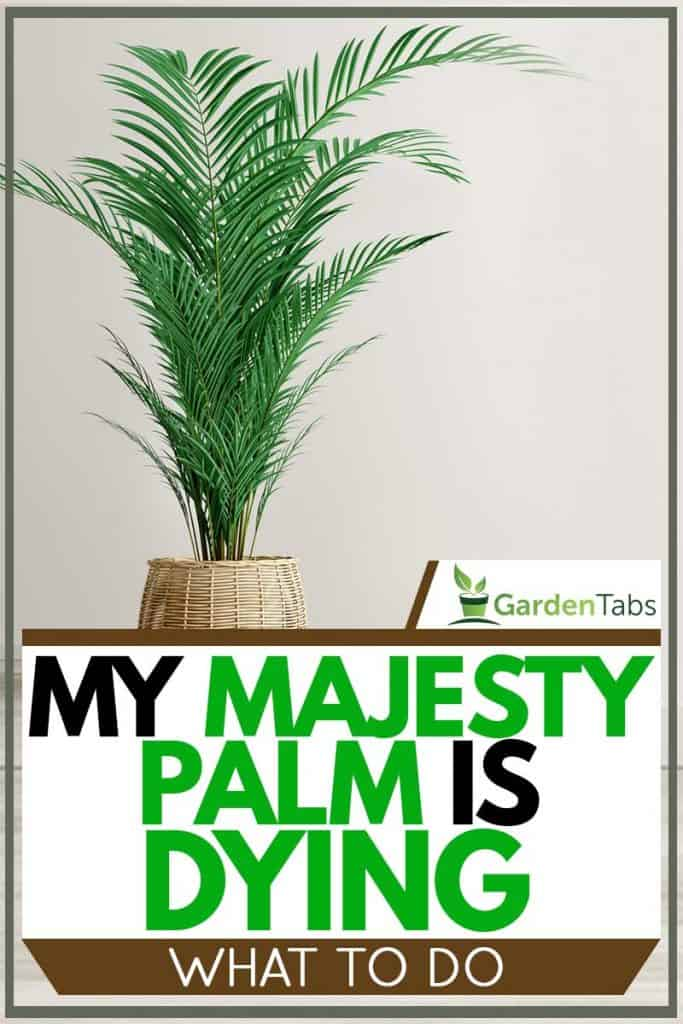 My Majesty Palm Is Dying - What To Do?